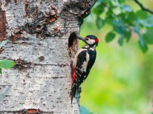 Woodpecker drumming on tree