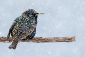 A starling perched on a branch during a snow storm