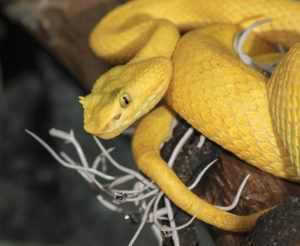 Eyelash viper hanging in a tree
