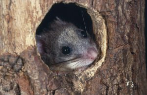 Fat Dormouse in the hole of tree