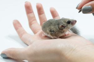 Dormouse waiting for feeding on hand