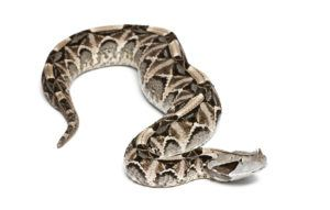 Gaboon Viper snake lying on white background