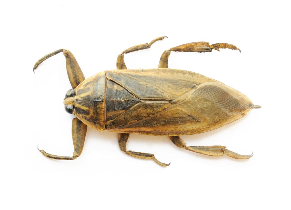 Giant water bug isolated on the white.