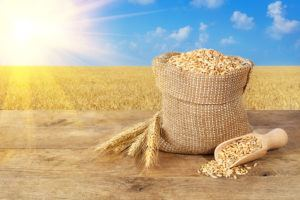 Wheat grains in bag on wooden table on wheat field with sunshine