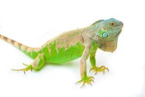 Green iguana sits on the white.