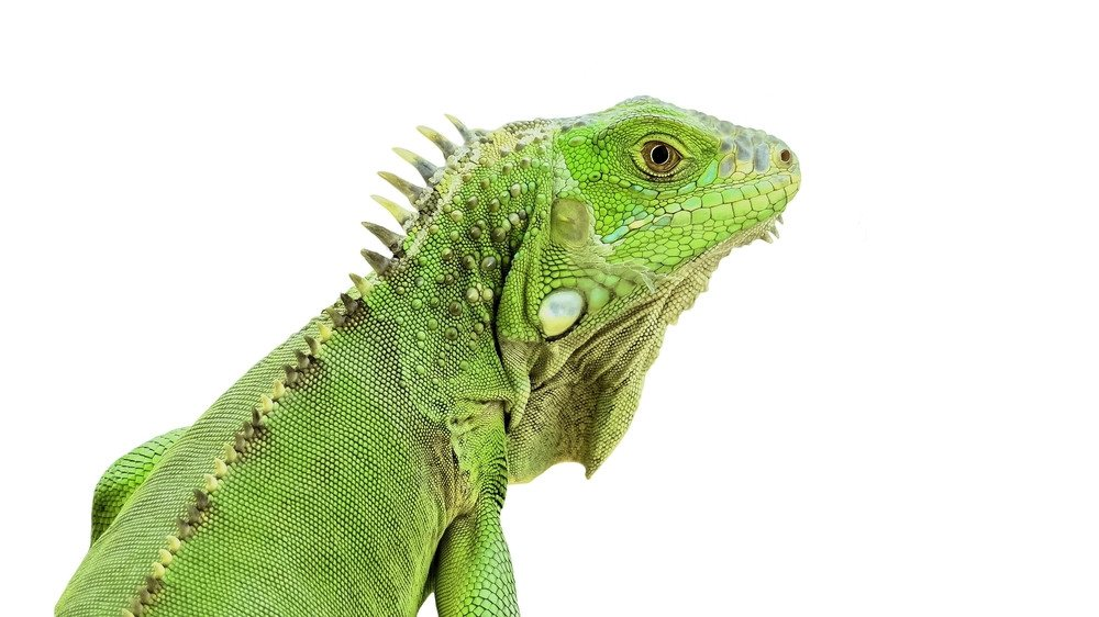 Close up of a green iguana's head.