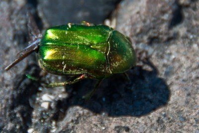 Green June bug on rock