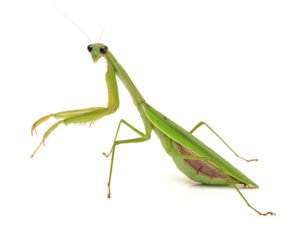 Green mantis on white background