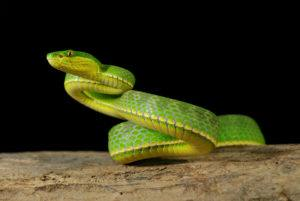 Green asian pit viper