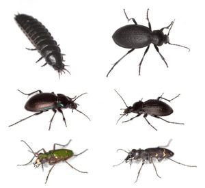 European ground beetles