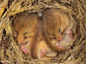 Two cute baby dormice sleeping