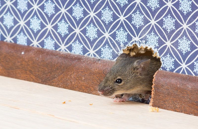 House mouse gets into the room through a hole in the wall