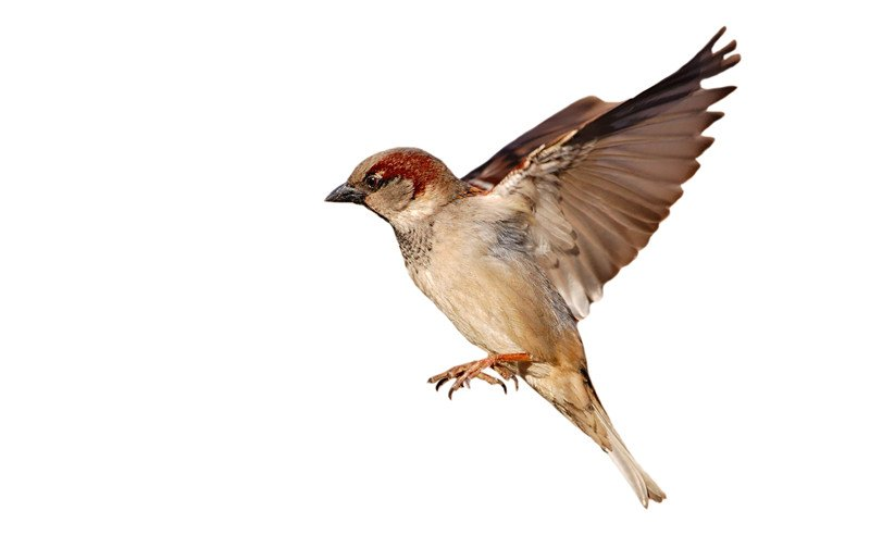 Flying house sparrow on white background