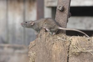 Norway rat climbing outside the farm