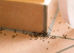 Pavement ants on table