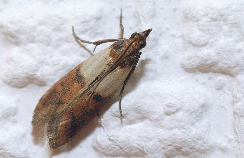Indian meal moths lying on flour