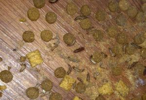 Larder Beetles Infestation And How To Get Rid Of Them