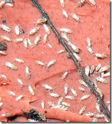 Springtail damages