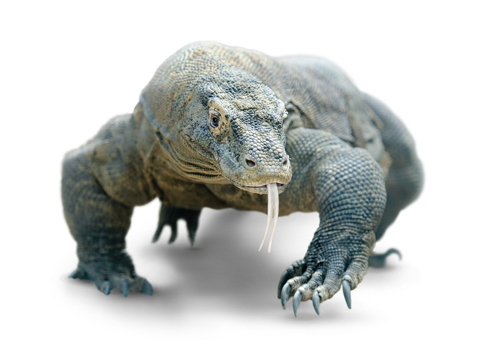 Close-up of Komodo dragon isolated on white background with clipping path.