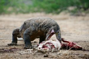 The Komodo dragon is eating a victim.