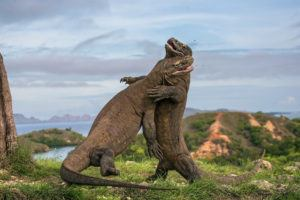 Two Komodo dragons fight with each other.