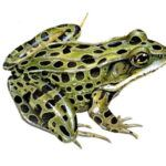 Leopard frog on white background