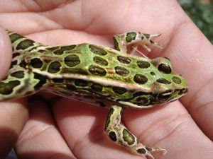 Leopard frog pet on mans hand