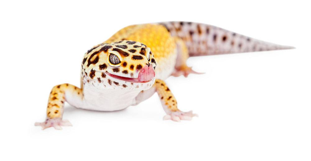 Cute Leopard gecko lizard with tongue out licking lips.