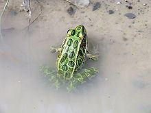 Northern leopard frog lying on water