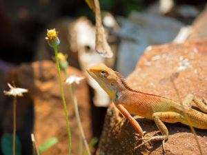 Close up of Oriental garden lizard