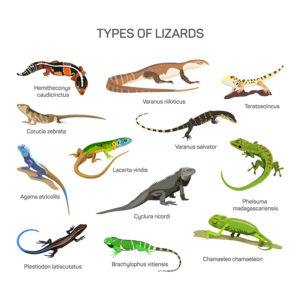 Different kind of lizard reptile species
