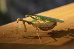 Praying mantis mating