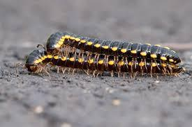 Two centipedes are mating.