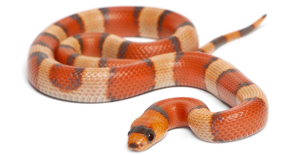Milk snake isolated on the white.