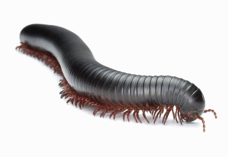 Millipede on white background