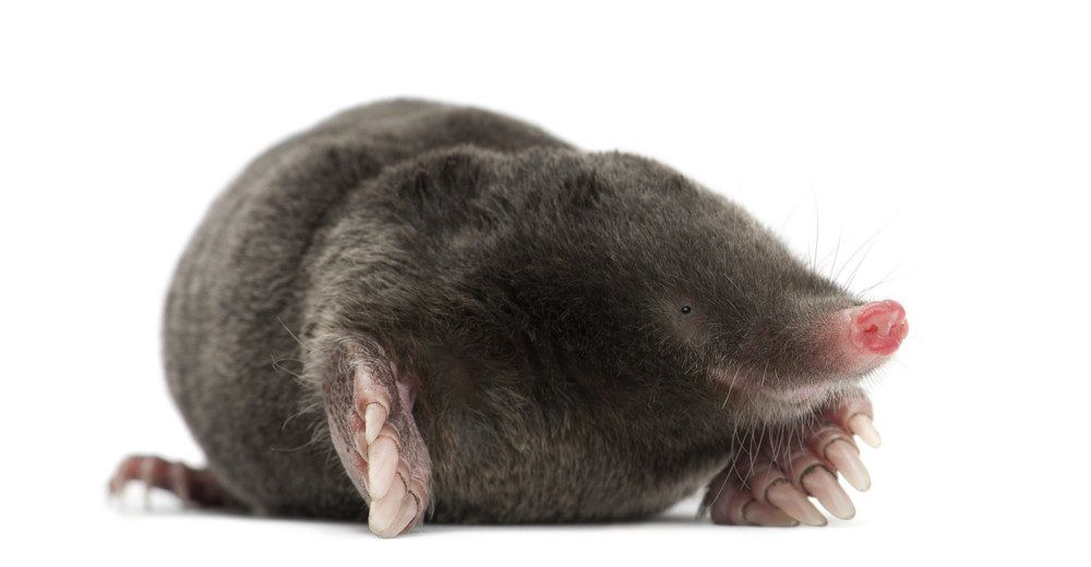Mole isolated on the white.