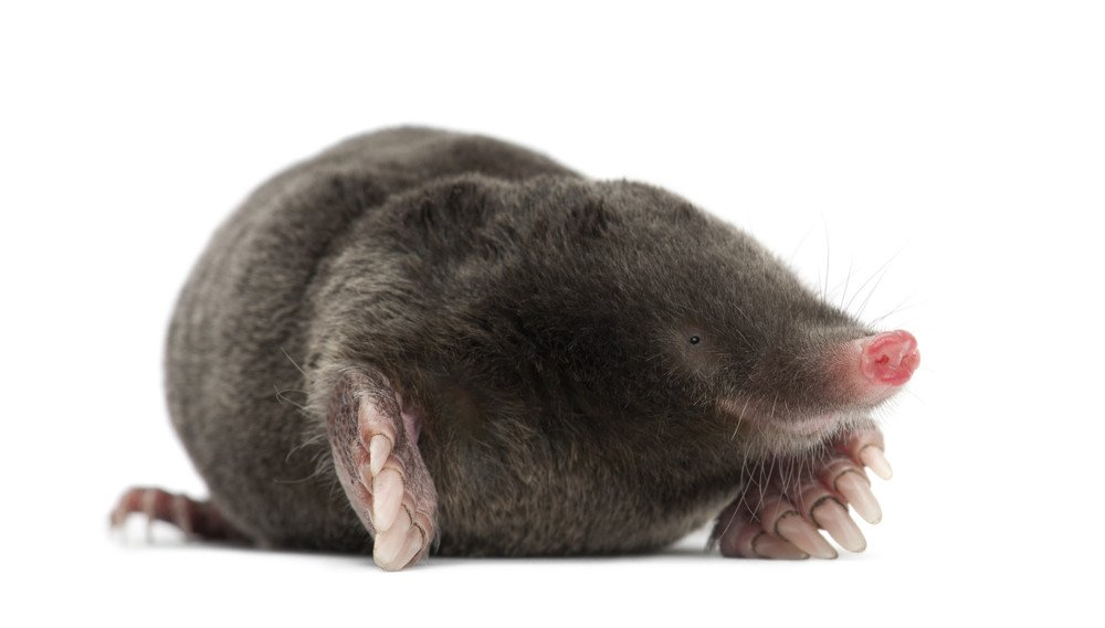 5 Home Remedies To Get Rid Of Moles Pestwiki