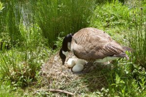 Canada goose protect her eggs in nest