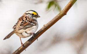 The white throat-ed sparrow on branch