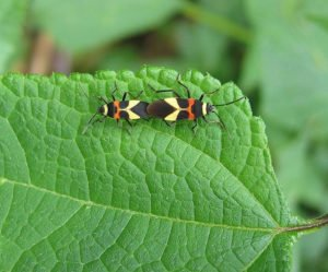 Love bugs on green leaf