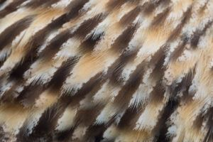The texture of owls feather