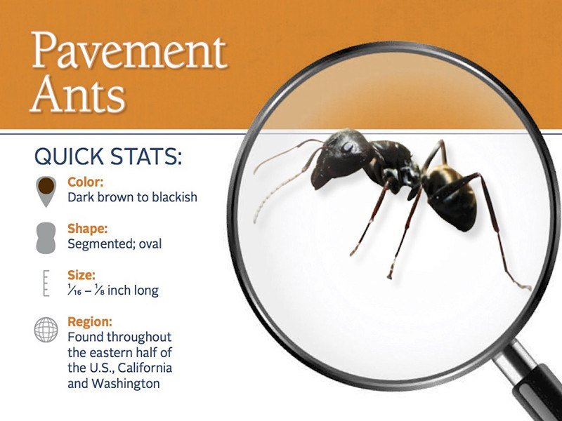 Basic information about pavement ant