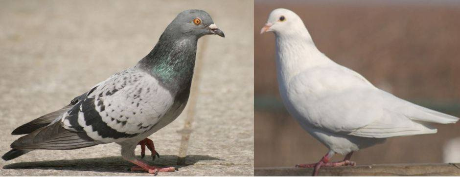Pigeon and dove