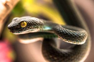 Close up of Green pit viper