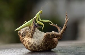 Praying Mantis: Seven Strange Facts and How to Get Rid of ...