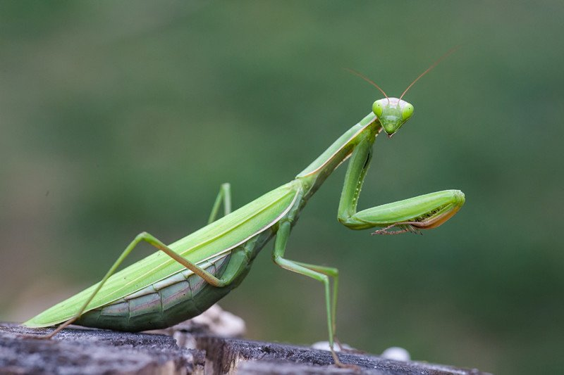 Green praying mantis on rock