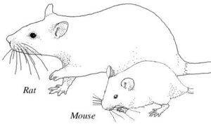 Drawing rat and mouse