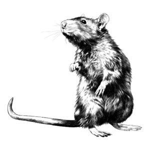 Rats Identification Prevention And How To Get Rid Of