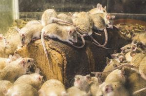 Rats on wood in cell