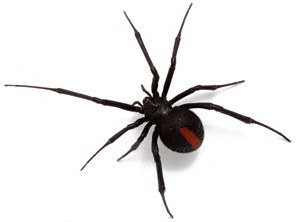 Redback spider on white background